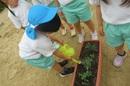 トマト苗植え5jpg.jpg